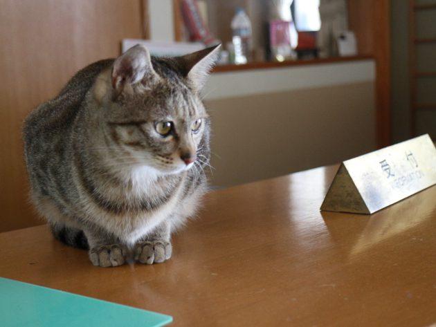 ▲赤沢温泉旅館の看板猫